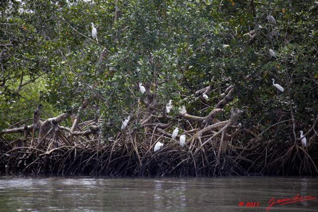 oiseaux-sur-paletuviers