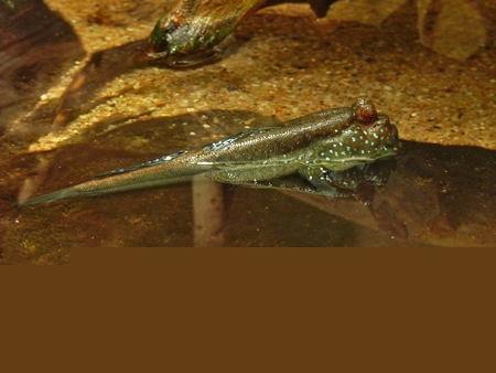 poisson-gros-yeux