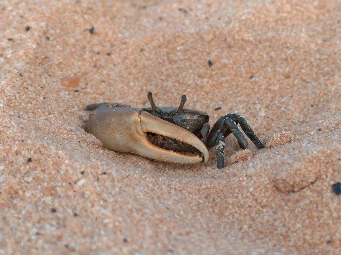 crabe_violoniste-2